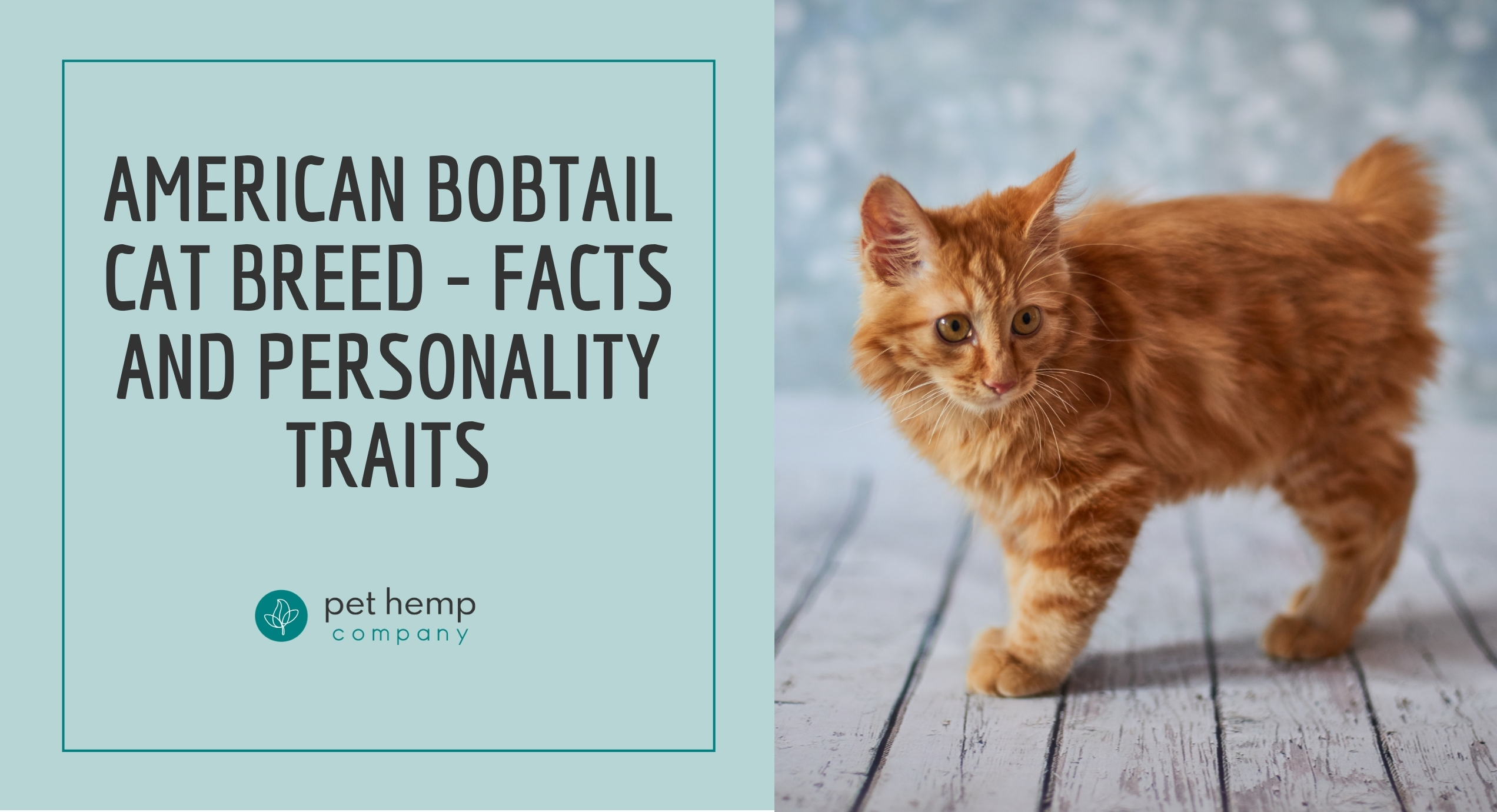 american bobtail cat breed facts and personality traits