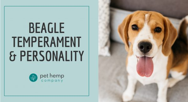 beagle temperament personality
