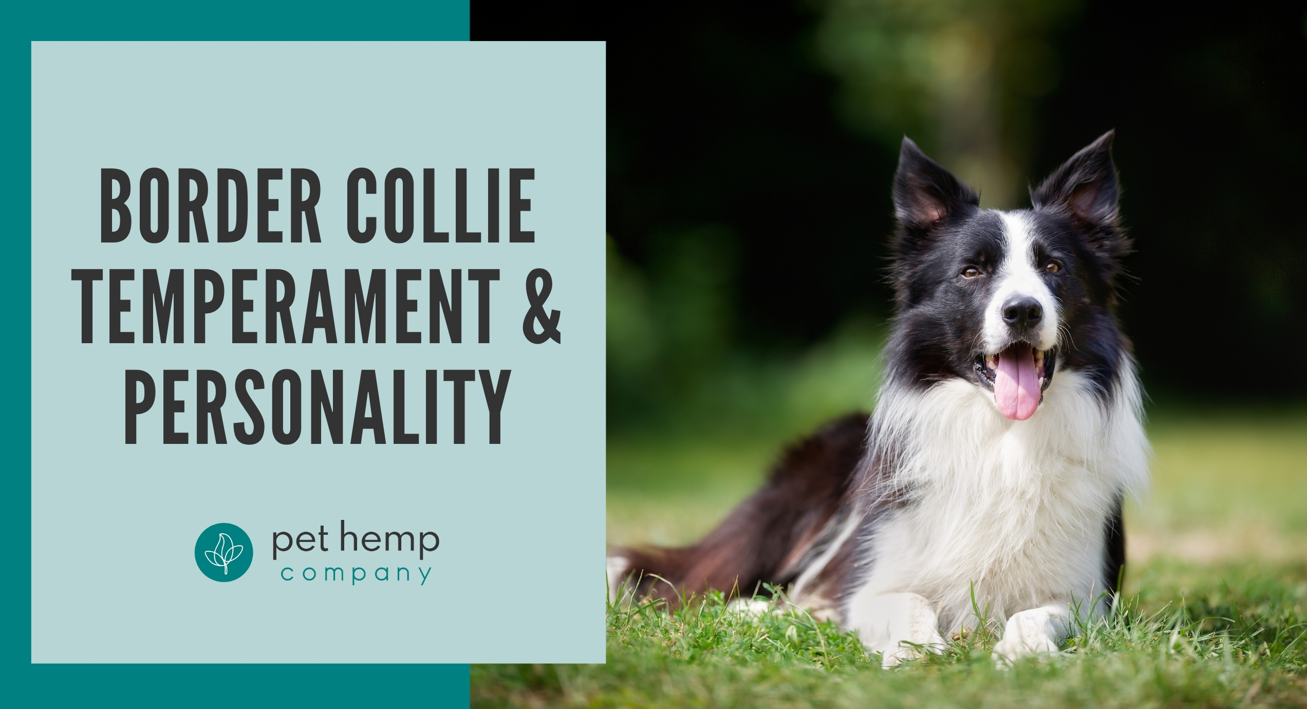 border collie temperament personality