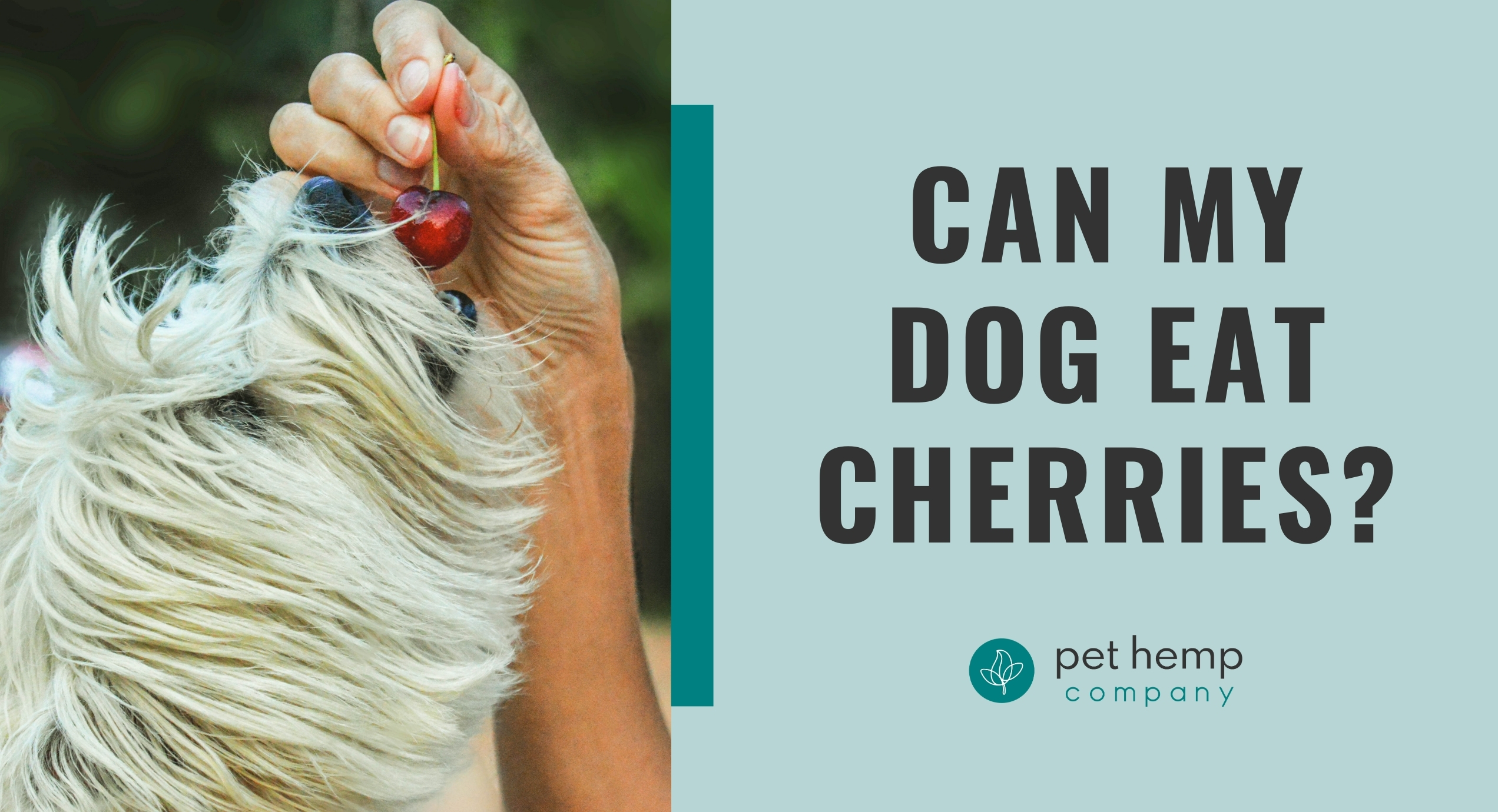 can my dog eat cherries