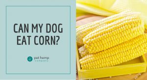 can my dog eat corn