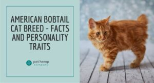 American Bobtail Cat Breed - Facts and Personality Traits