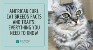 American Curl Cat Breeds Facts and Traits: Everything You Need to Know