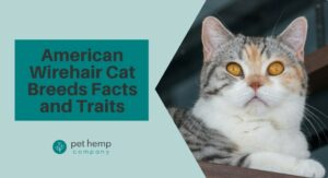 American Wirehair Cat Breeds Facts and Traits