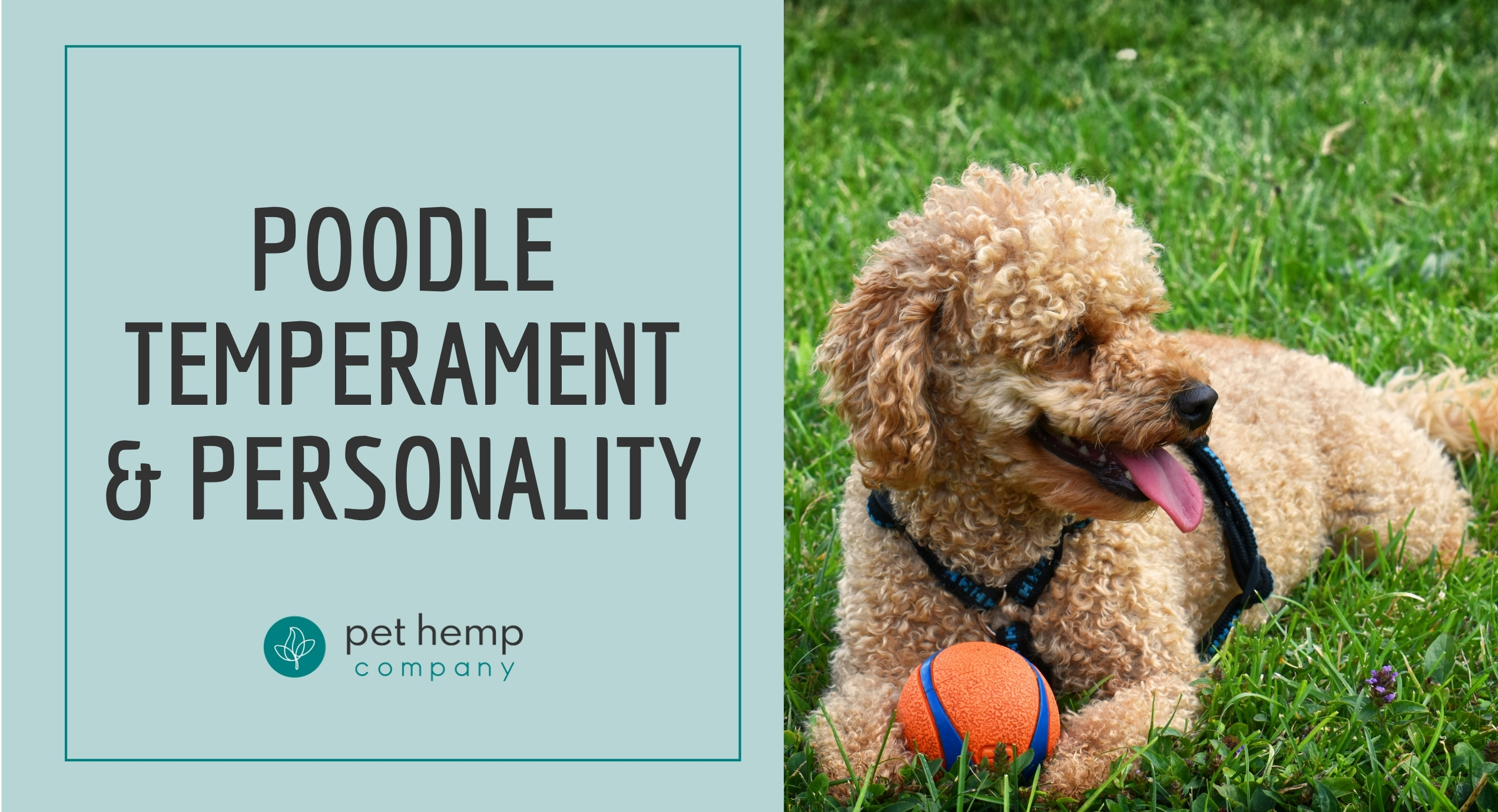 poodle temperament personality