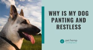Why Is My Dog Panting and Restless