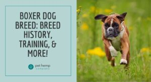 Boxer Dog Breed Breed History, Training, & More!